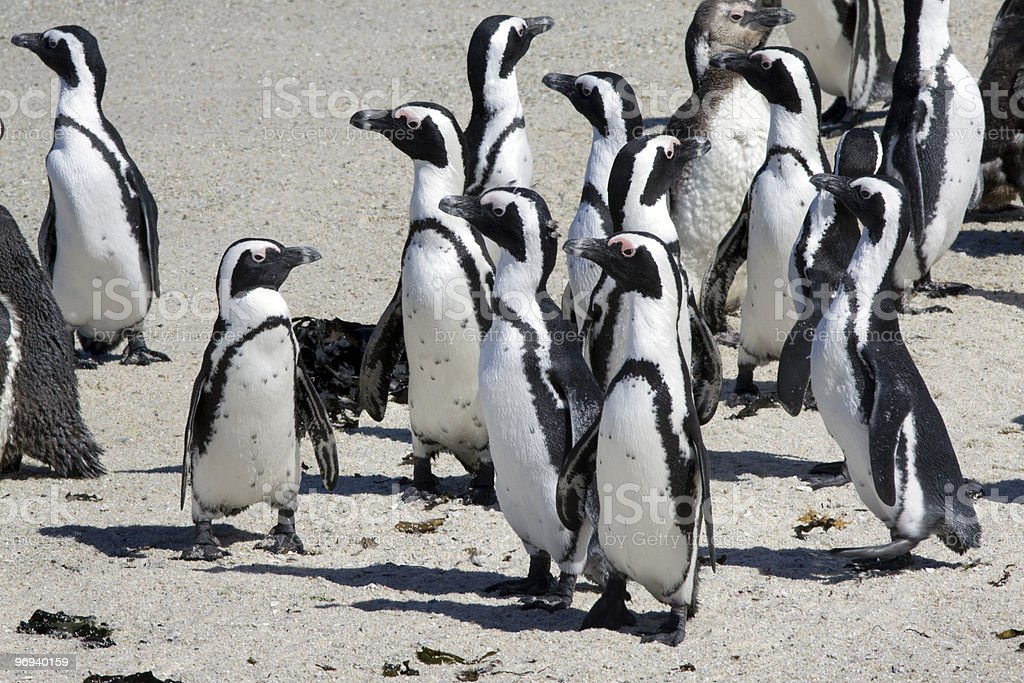 African penguin at Boulders Beach royalty-free stock photo