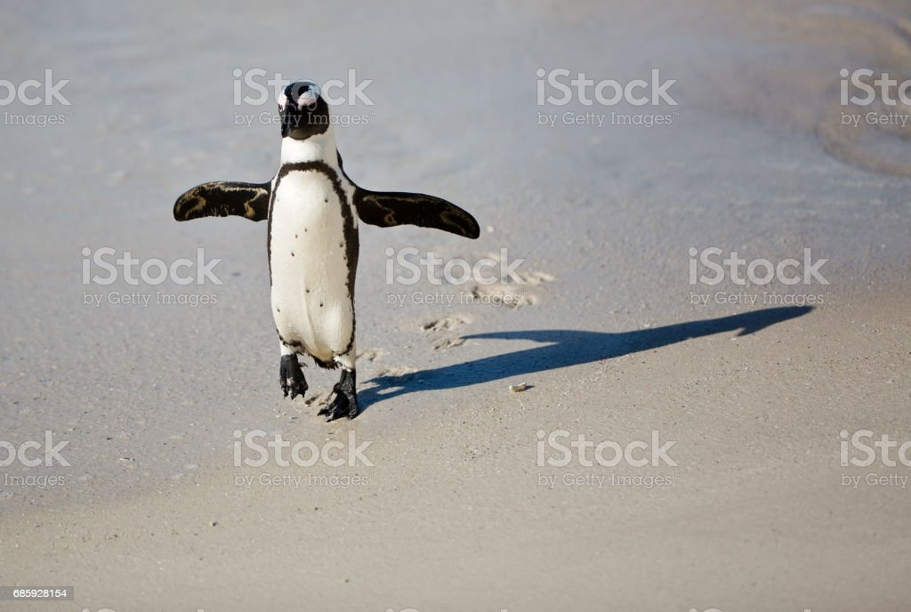 African Penguin at Boulders Beach | South Africa stock photo