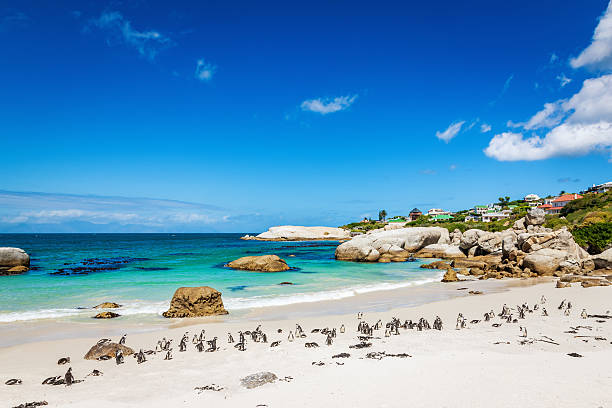 african penguin colony at beach,cape town south africa - cape peninsula stock pictures, royalty-free photos & images