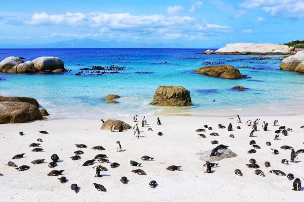 African penguin colony at Boulders Beach, Simon's Town, South Africa stock photo