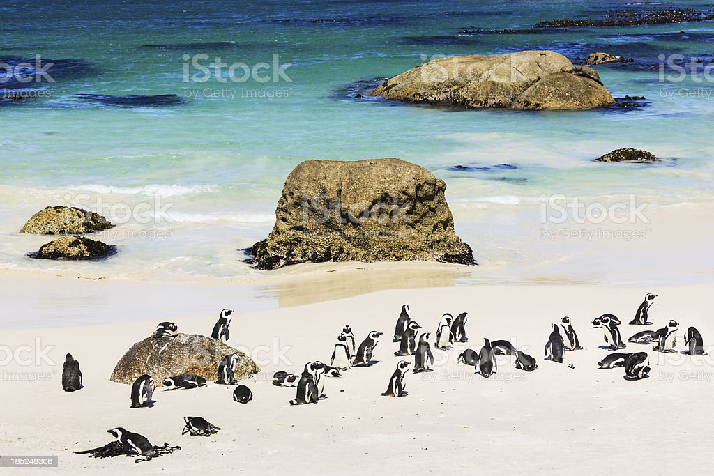 African Penguin Colony at the Beach Cape Town South Africa stock photo