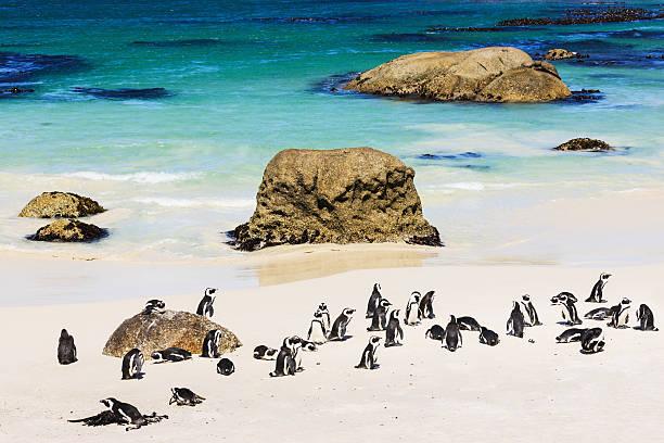 アフリカのペンギンコロニービーチで、南アフリカ、ケープタウン ストックフォト