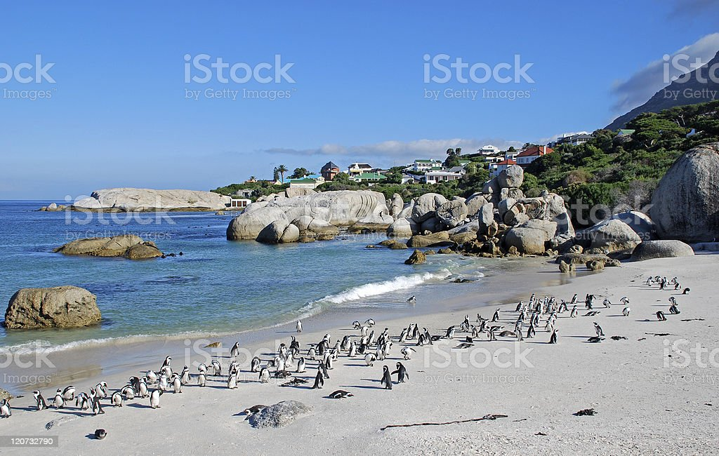 African penguin colony on the ocean beach(South Africa) royalty-free stock photo