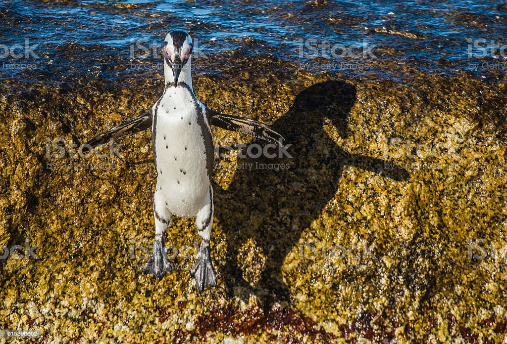 African penguin jumping from rock stock photo