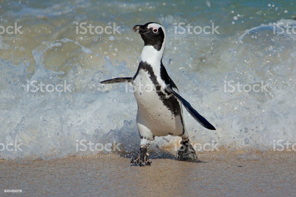 African penguin running stock photo