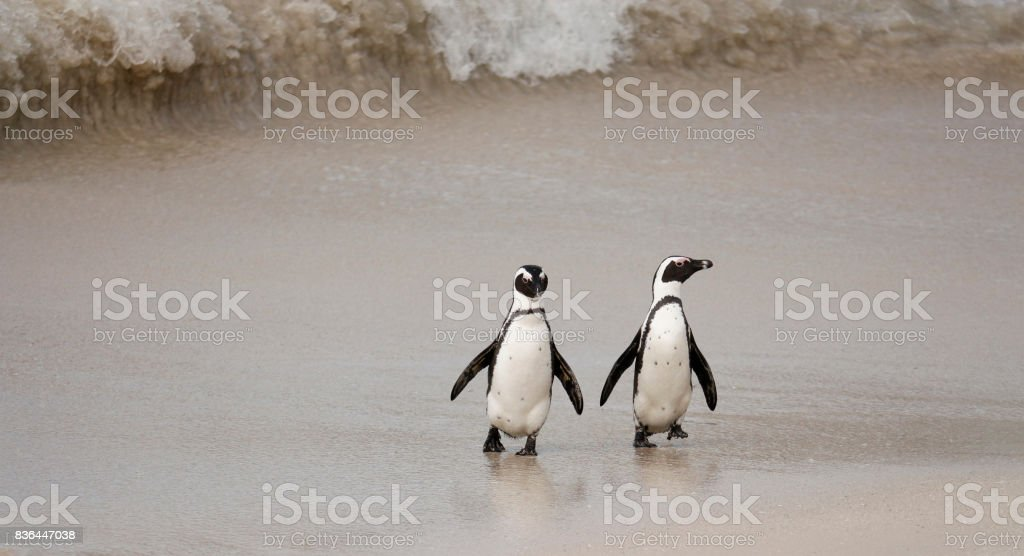 African penguin Spheniscus demersus pair walking bird shore Cape Town stock photo