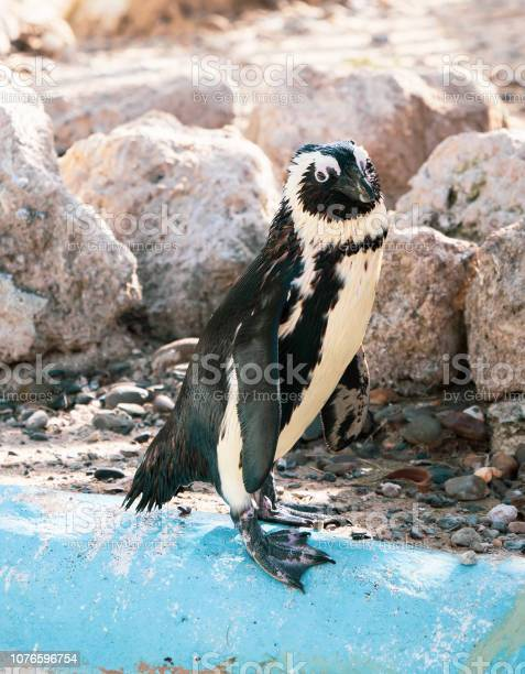 African penguin standing on the rock after swimming african penguin picture id1076596754?b=1&k=6&m=1076596754&s=612x612&h=saosfcmemc7pykzpef7oahzslrspw3elp 8inhrsi5w=