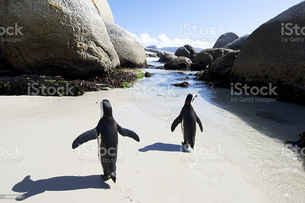 African penguin walk stock photo