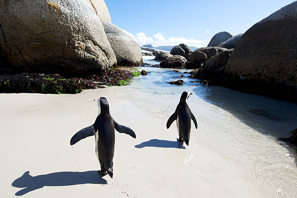 african penguin walk - cape peninsula stock pictures, royalty-free photos & images