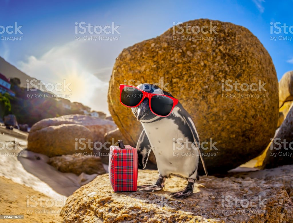 African Penguin with sunglasses at the beach stock photo