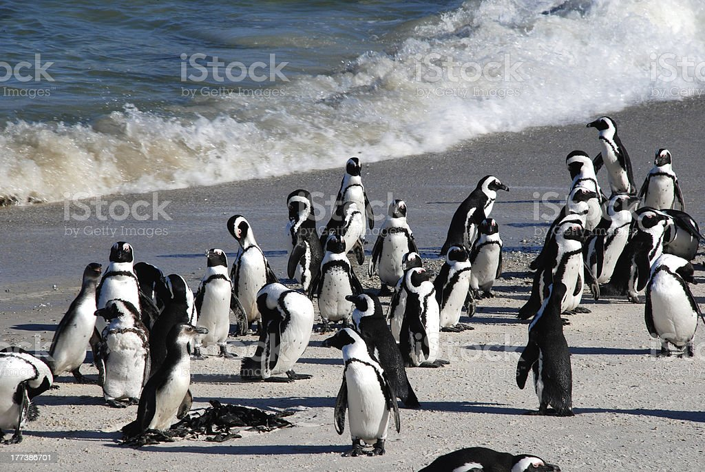 african penguins at Boulder Beach(South Africa) royalty-free stock photo
