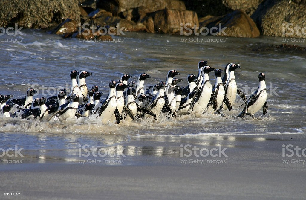 African Penguins at Boulders Beach in Cape Town, South Africa royalty-free stock photo