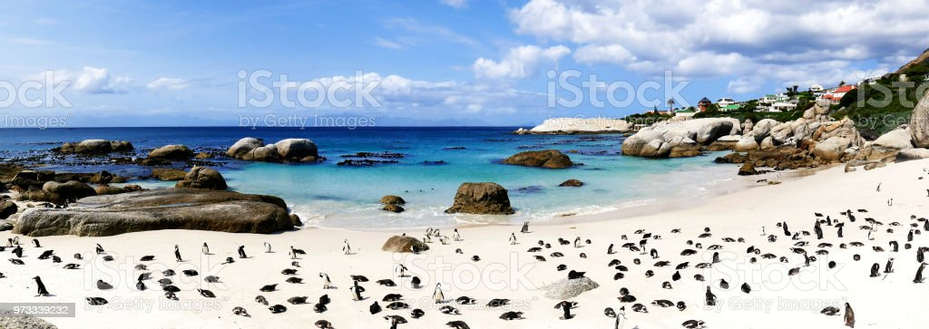 African penguins  (Speniscus demersis) at Boulders Beach , Simon's Town, South Africa stock photo