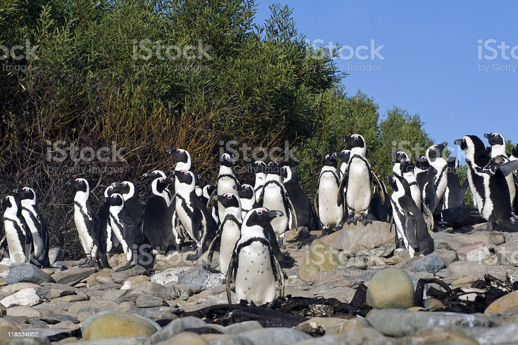 African Penguins at Robben Island royalty-free stock photo