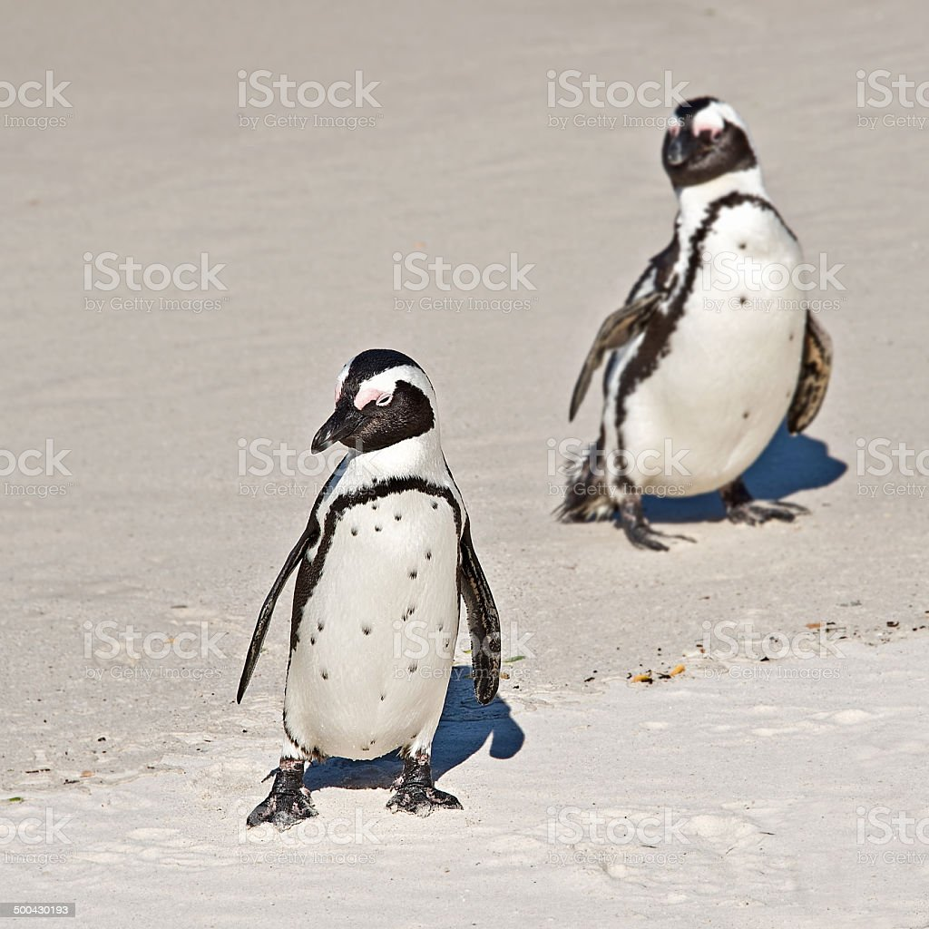 African penguins, Boulders national Park, South Africa royalty-free stock photo