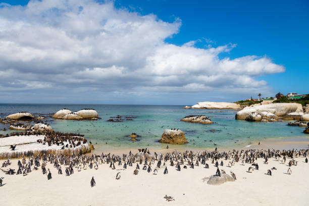 african penguins colony at boulders bay in south africa - cape peninsula stock pictures, royalty-free photos & images
