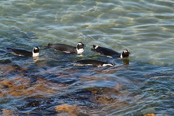 african penguins in betty's bay - pinguins swimming stockfoto's en -beelden
