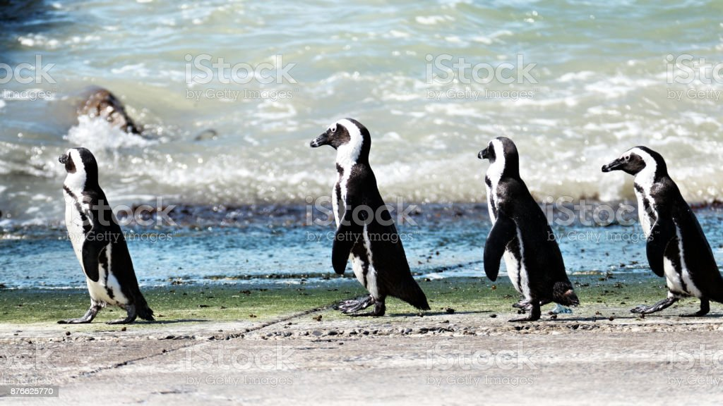 African penguins  (Speniscus demersis) just have come out of the water near Betty's Bay, South Africa stock photo