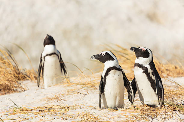 african penguins on a boulders beach in south africa - cape peninsula stock pictures, royalty-free photos & images