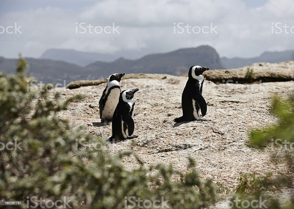 African penguins on Boulders Beach royalty-free stock photo