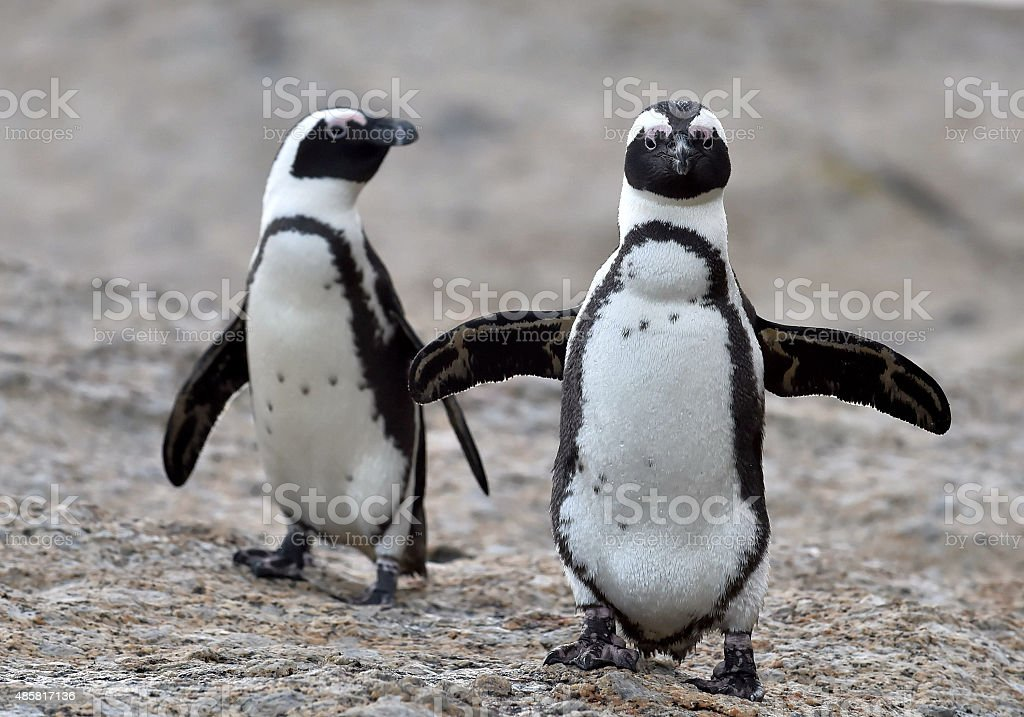 African penguins. stock photo