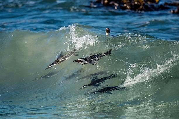 african penguins swimming in ocean wave - pinguins swimming stockfoto's en -beelden
