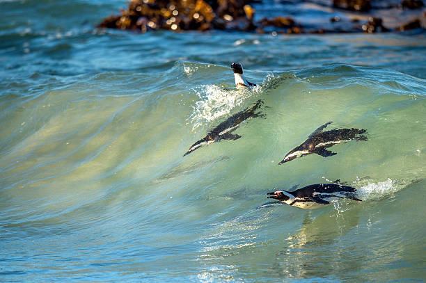 african penguins swimming in ocean wave. - pinguins swimming stockfoto's en -beelden
