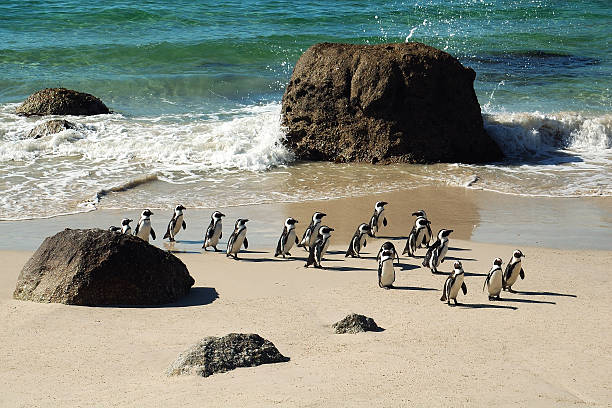 african pinguins at boulders, south africa - cape peninsula stock pictures, royalty-free photos & images