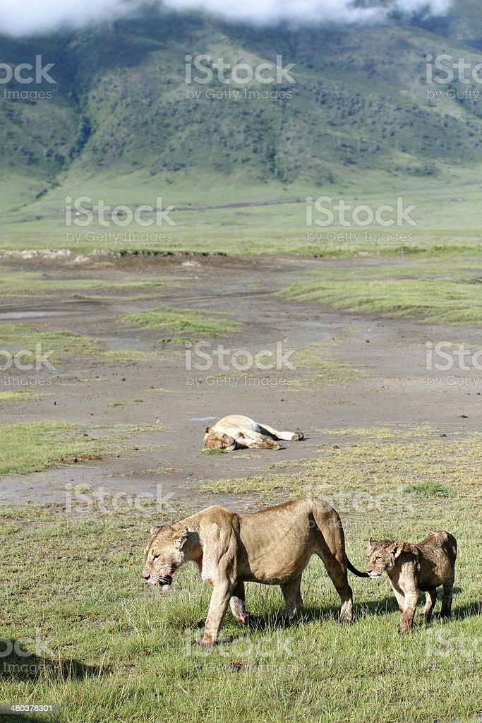 African predators in Ngorongoro National Park, lioness and lion cub. stock photo