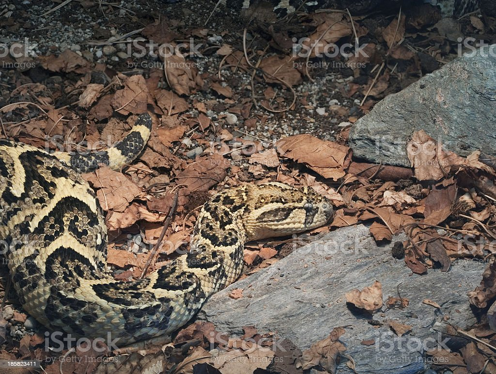 African Puff Adder royalty-free stock photo