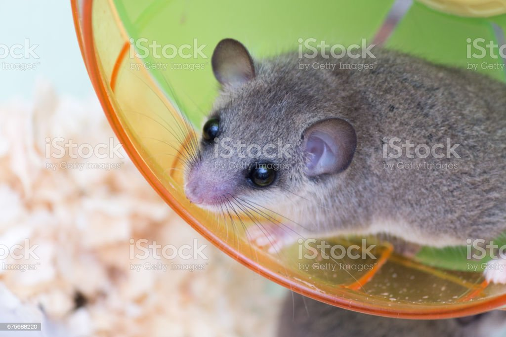 African Pygmy Dormouse on running wheel stock photo