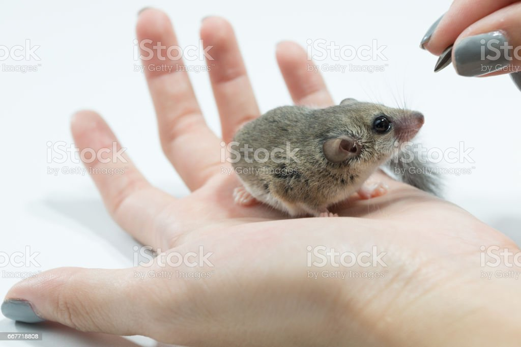 African Pygmy Dormouse waiting for feeding on hand stock photo