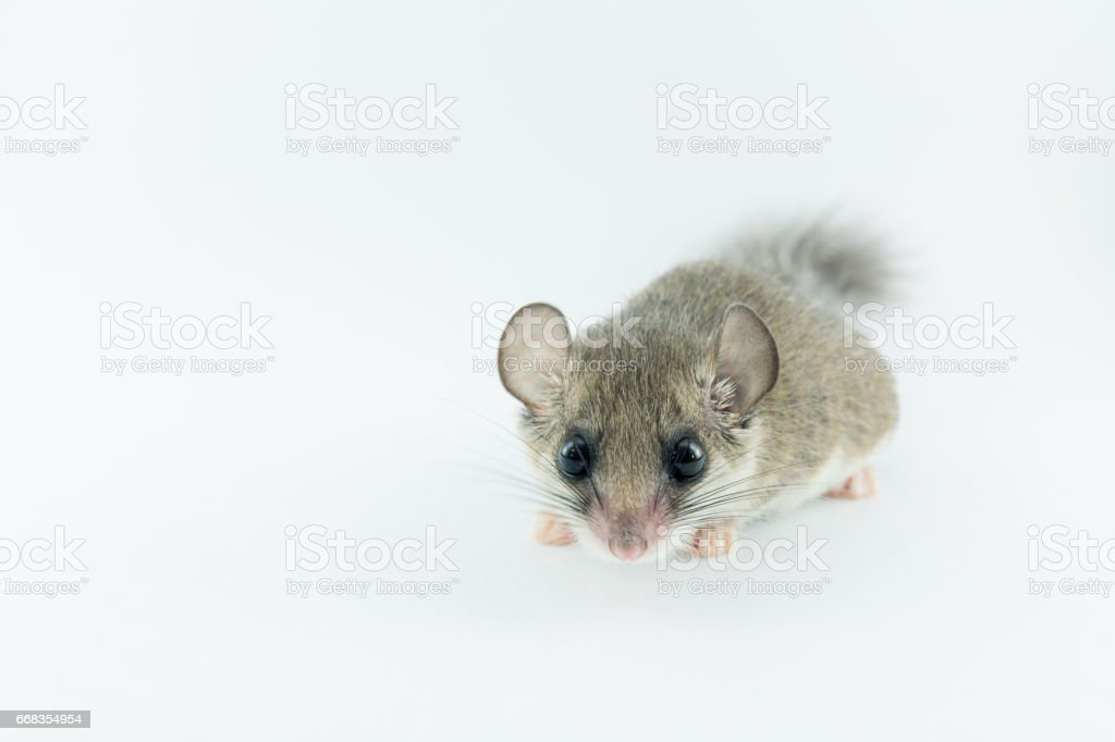 African Pygmy Dormouses look straight to camera on white background stock photo