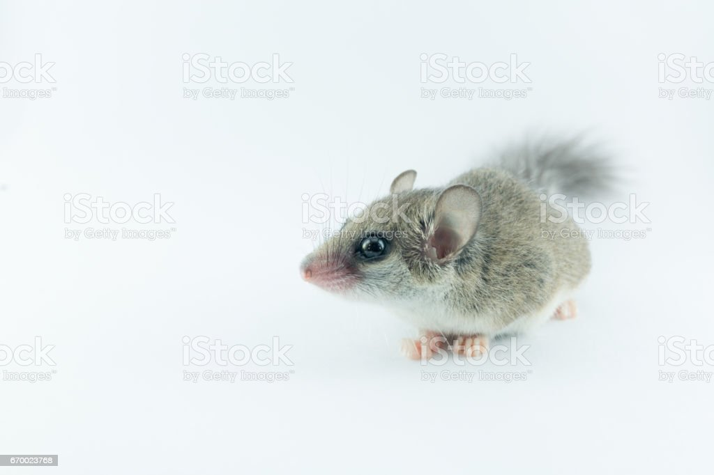 African Pygmy Dormouses look to right on white background stock photo