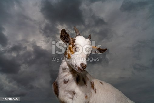 A portrait of an African Pygmy Goat. (Capra aegagrus hircus) against a stormy sky.