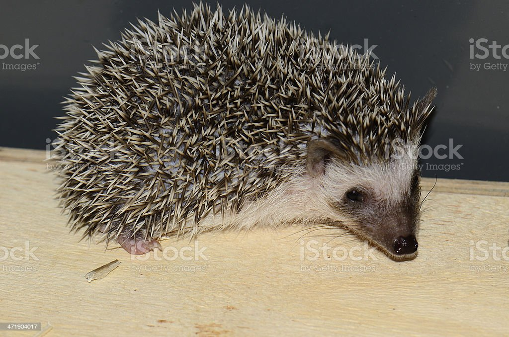 African pygmy hedgehog royalty-free stock photo