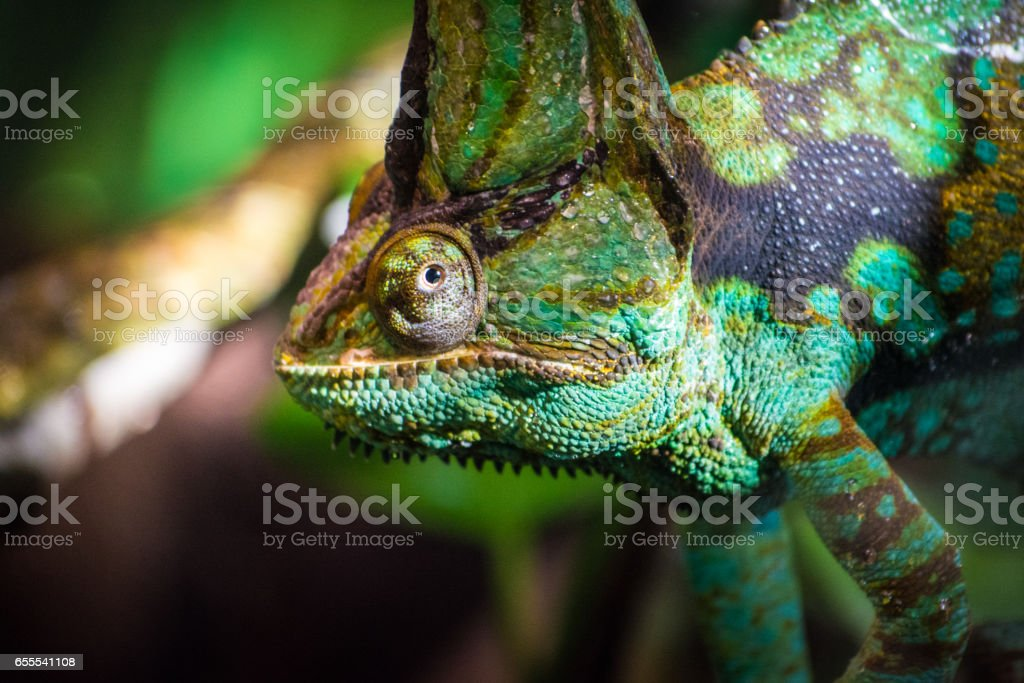 African rainforest veiled chameleon looking close up from branch stock photo