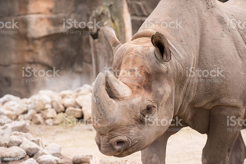 African Rhinoceros stock photo