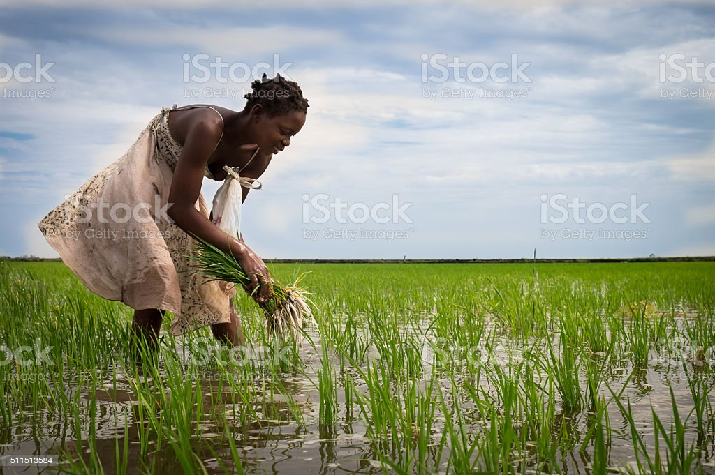 African rice farmer stock photo