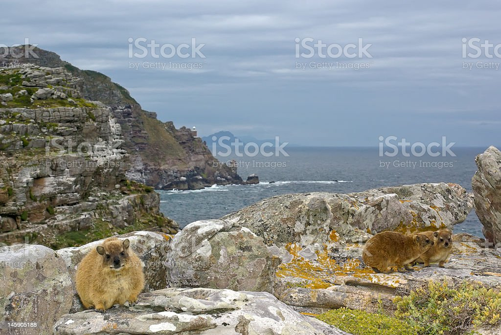 African rock hyrax - dassie, against Cape Good Hope landscape royalty-free stock photo