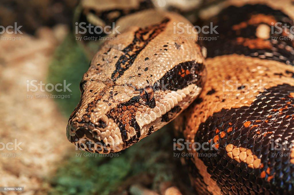african rock python stock photo