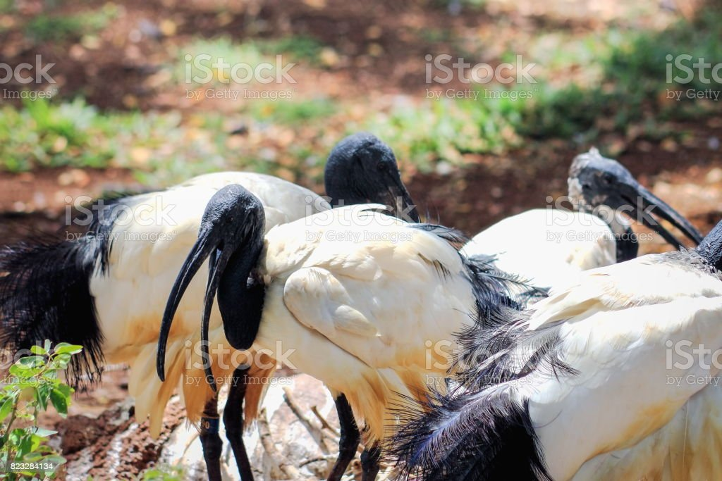 African sacred ibis (Threskiornis aethiopicus) stock photo