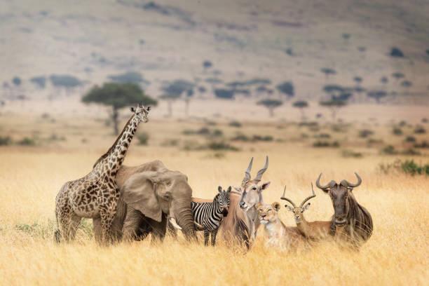 afrika safari hayvanlar rüya gibi kenya sahnesinde - omurgalı stok fotoğraflar ve resimler