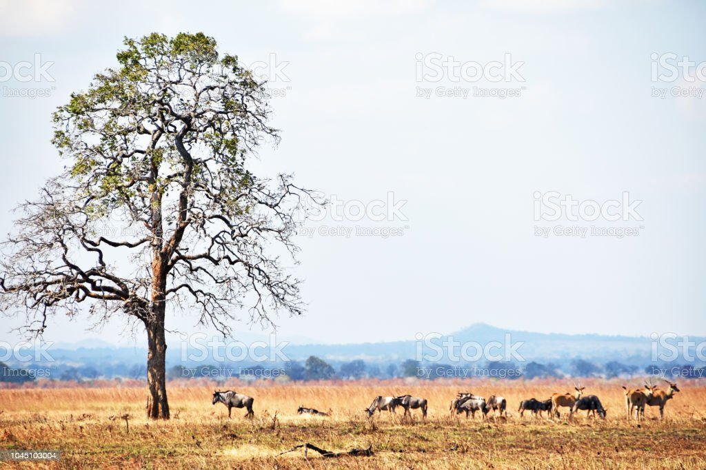 African safari – Foto