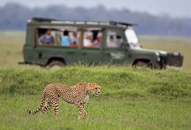 african safari - safari stock photos and pictures