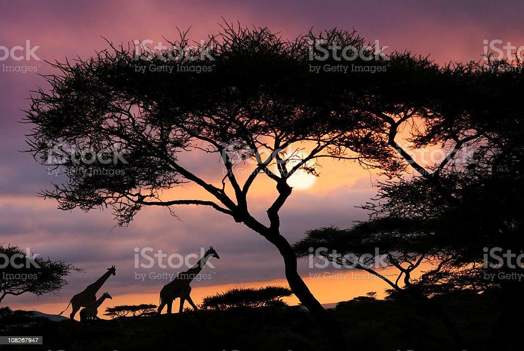 african safari sunset stock photo