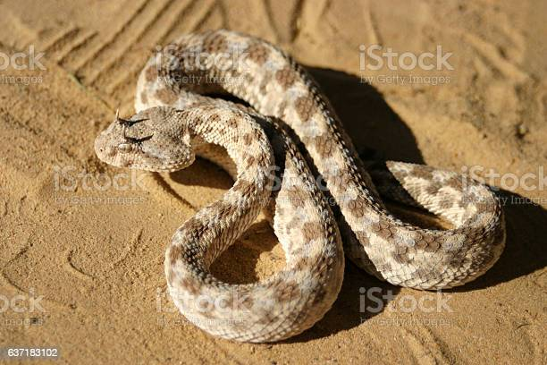Close-up of dangerous horned viper in the sahara