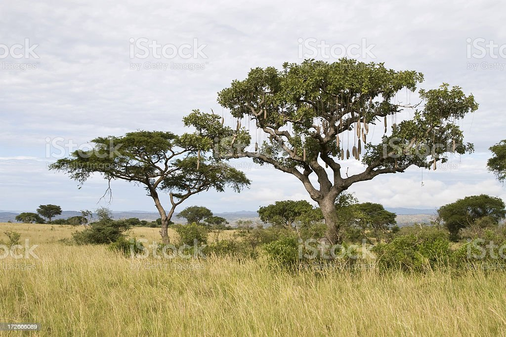 African Sausage Tree royalty-free stock photo