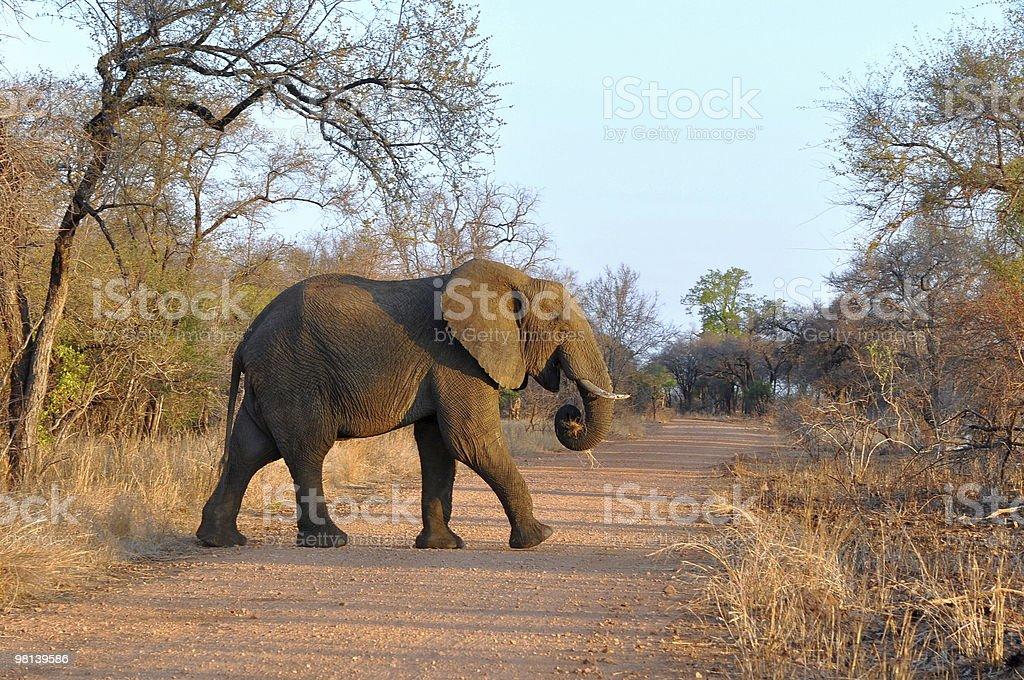 african savanna elephant royalty-free stock photo