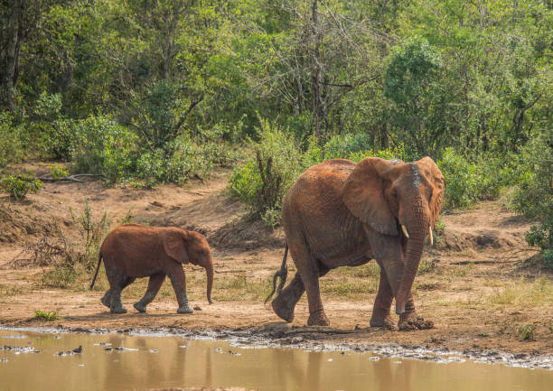 African savannah elephant mother with her child at a waterhole stock photo